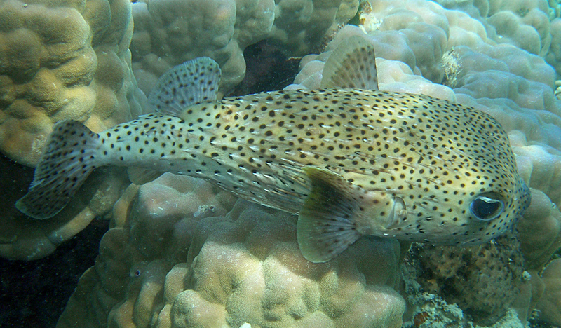 ttx and genotoxicity of diodon hystrix organs Genotoxicity of tetrodotoxin extracted from different organs of diodon hystrix puffer fish from south east indian coast research journal of toxins, 2016 in the present study, tetrodotoxin (ttx) extracted from eyes, skin, liver, intestine and gonads of diodon hystrix were evaluated for toxicity study.